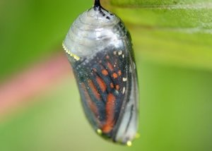 Monarch in cocoon